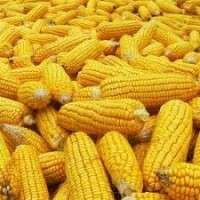Hybrid Maize Seeds Manufacturers