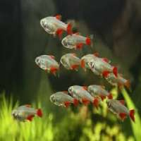 Bloodfin Tetras Manufacturers