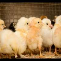 Poultry Farm Chicks Manufacturers