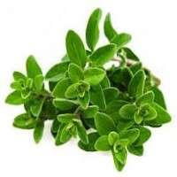 Marjoram Herb Manufacturers