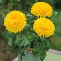 Chrysanthemum Plants Manufacturers