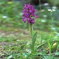 Orchis Mascula Manufacturers