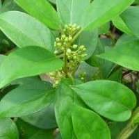 Gymnema Sylvestre Leaves Manufacturers
