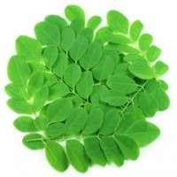 Moringa Oleifera Leaves Manufacturers