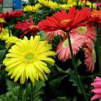 Gerbera Daisy Plant Manufacturers