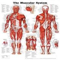 人体解剖图 制造商