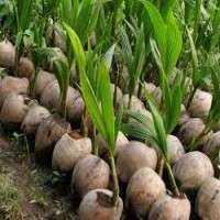 椰子幼苗 制造商