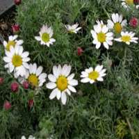 Anacyclus Pyrethrum Manufacturers