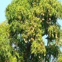 Mango Tree Manufacturers