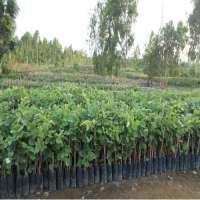 Red Sandalwood Plants Manufacturers