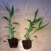Ginger Tissue Culture Plants Manufacturers