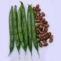 扁豆种子 制造商