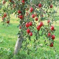 苹果植物 制造商