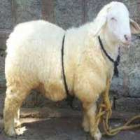 Bannur Sheep Importers