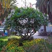 Plumeria Plant Manufacturers