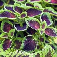 Coleus Plant Manufacturers