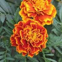 Marigold Flower Manufacturers