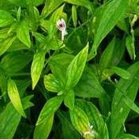 Andrographis Paniculata Extract Manufacturers