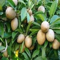 Sapota Fruit Plant Manufacturers