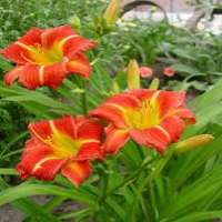 Daylilies Manufacturers