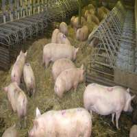 Pig Farming Importers