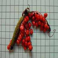Gloriosa Superba种子 制造商