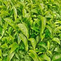 Tea Leaves Manufacturers
