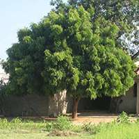 Neem Tree Manufacturers
