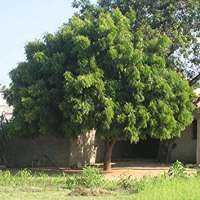 Neem Tree Manufacturers